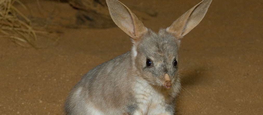 How Ecology Works To Save The Bilby Ecology Homewares